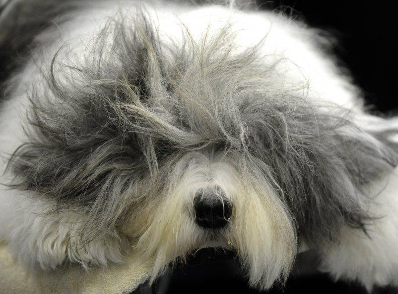 Old English sheepdog NYC 2011