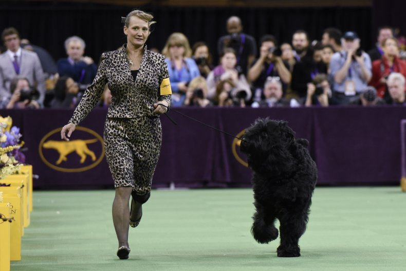 Black Russian terrier 2016 NYC dog show