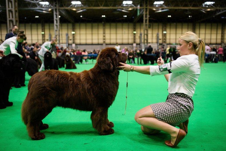 Newfoundland dog U.K. Crufts dog show 2018