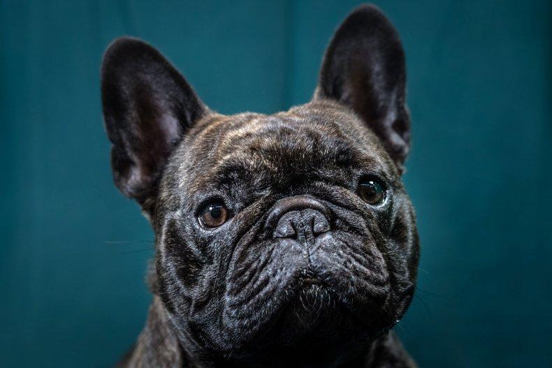 French bulldog U.K. Crufts dog show 2017
