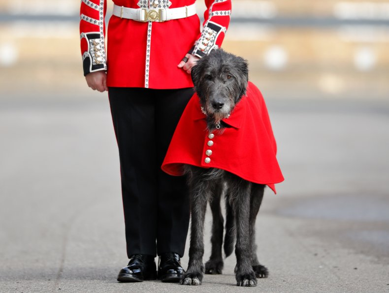 Irish wolfhound Irish Guards mascot 2019