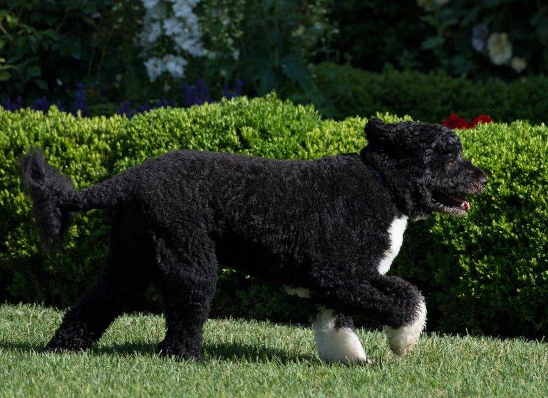 Bo Obama family Portuguese water dog 2012