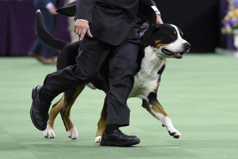Greater Swiss mountain dog NYC show 2016