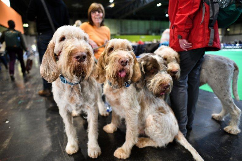 Italian Spinone U.K. Crufts dog show 2020
