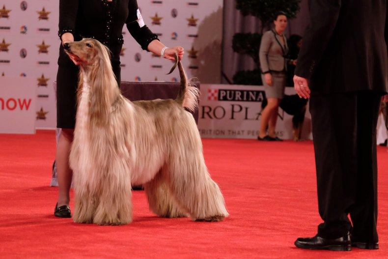 Afghan hound Beverly Hills Dog Show 2020