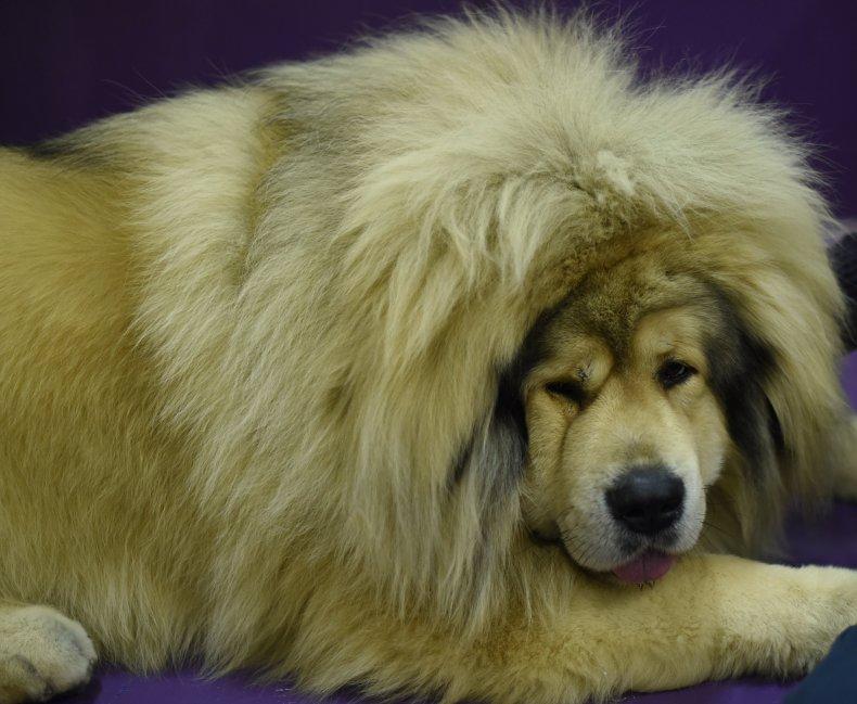 Tibetan mastiff NYC dog show 2015