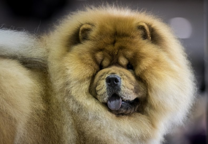 chow chow dog show NYC 2018