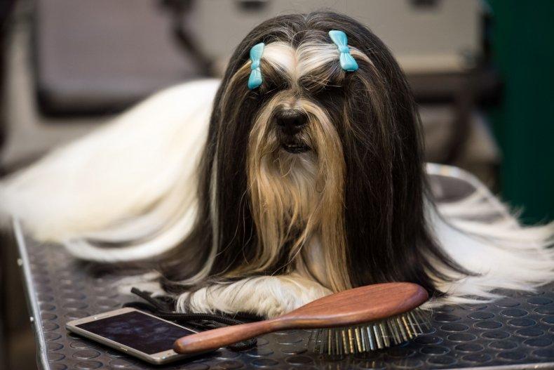 lhasa apso dog show U.K. 2017