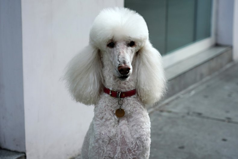 poodle dog NYC May 2020