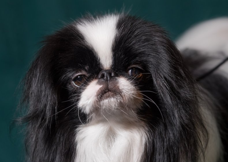 Japanese chin U.K. Crufts dog show 2017