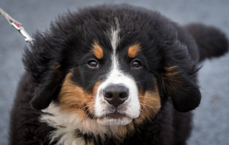 Bernese mountain dog U.K. 2016