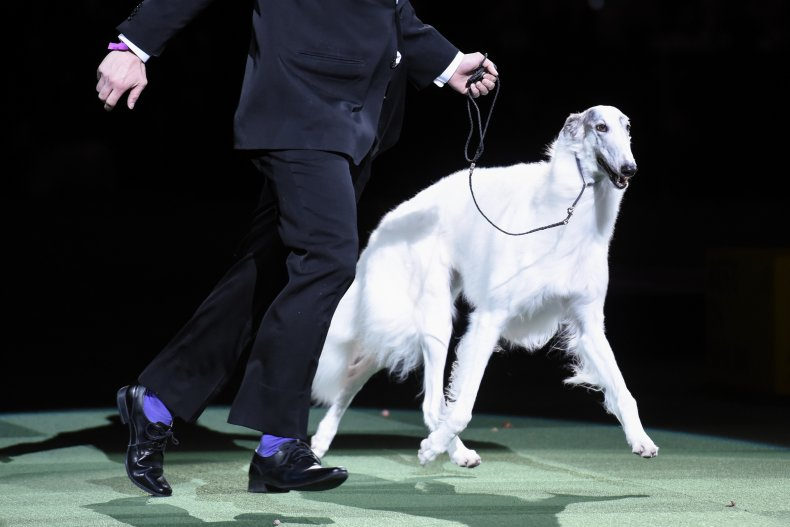 Borzoi dog show NYC 2016