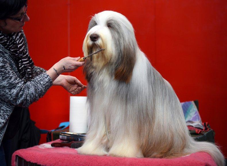 Bearded collie Crufts dog show U.K. 2015