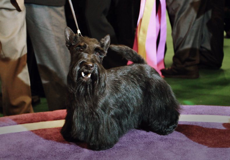Scottish terrier NYC dog show 2010