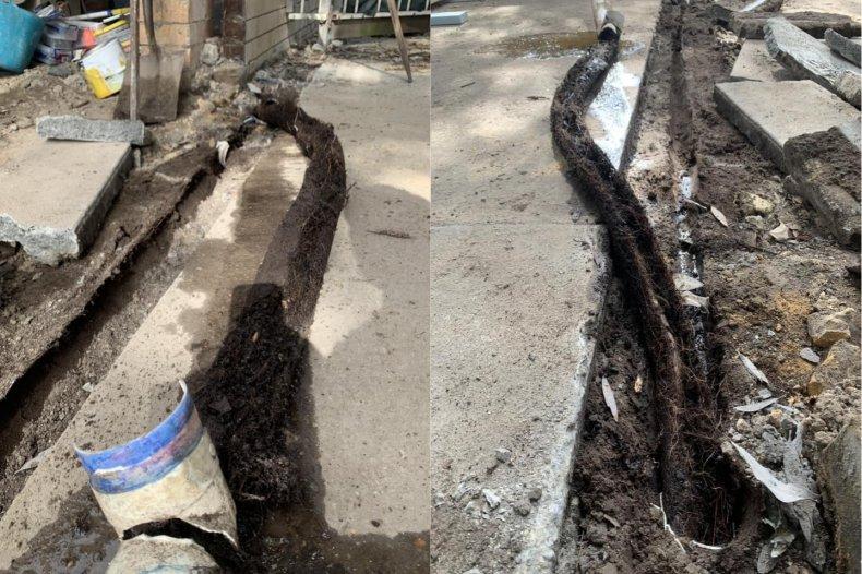 Tree root infestation