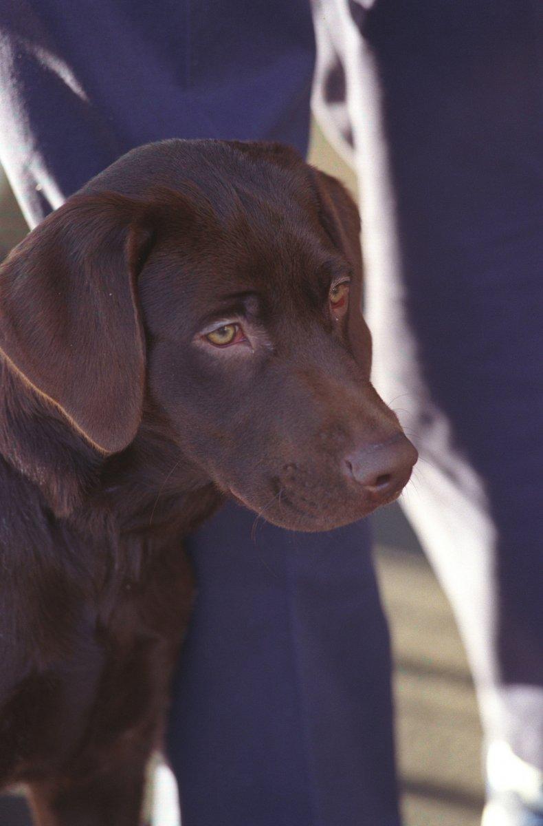 Labrador green eyes
