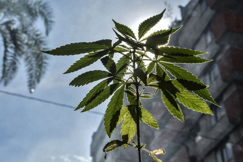 View of a marihuana plant during a