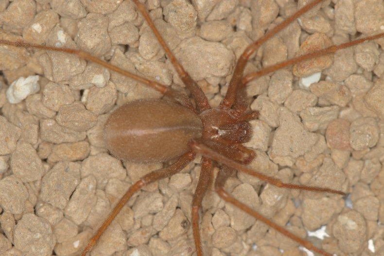 A Mediterranean recluse spider