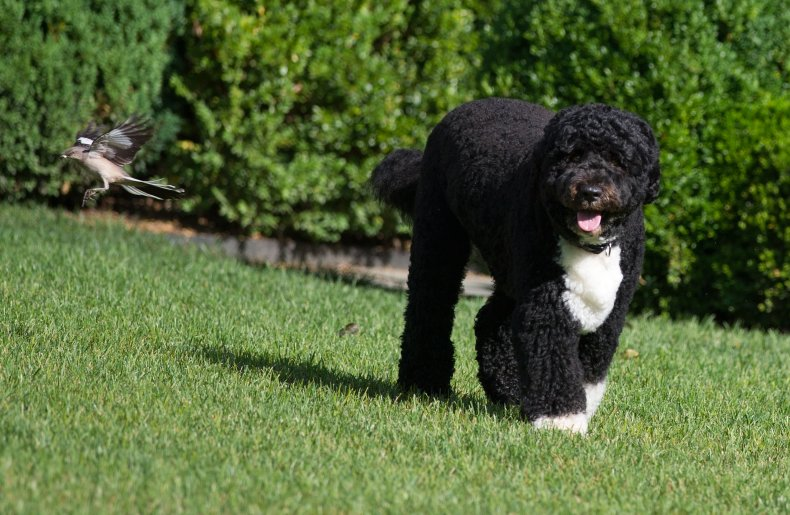 Portuguese water dog Obama family 2012