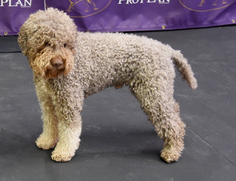 Lagotto Romagnolo  NYC dog show 2016