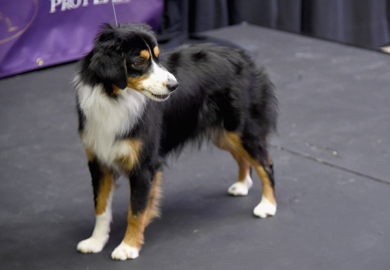 NYC dog show miniature American shepherd