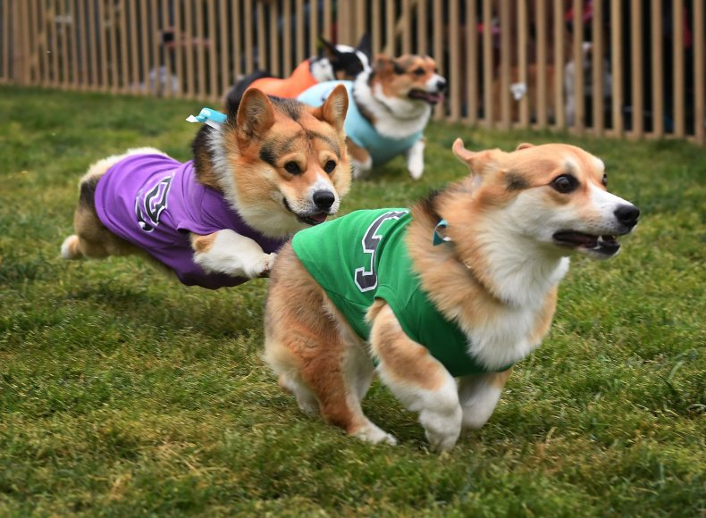 Corgis dogs California