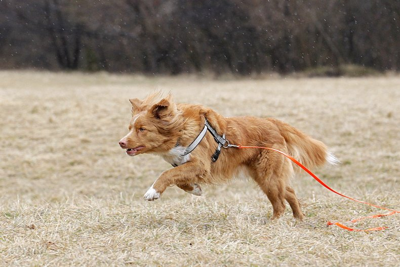 Nova Scotia duck tolling retriever Germany