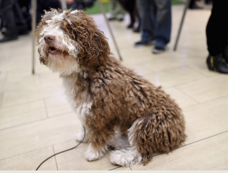 Dog show NYC 2016 spanish water dog