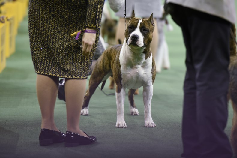 American Staffordshire terrier NYC 2016