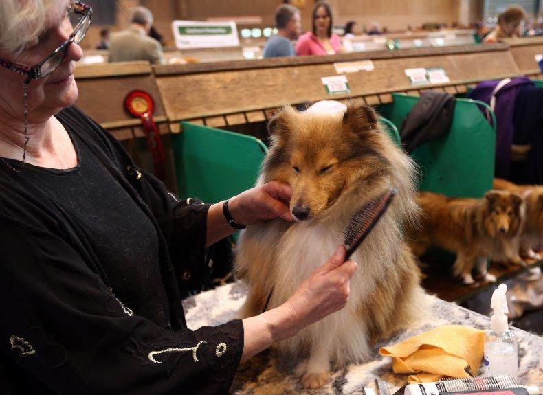 Shetland sheepdog U.K. dog show 2015