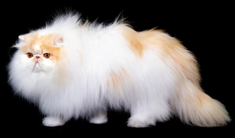 Persian cat U.K. 2018