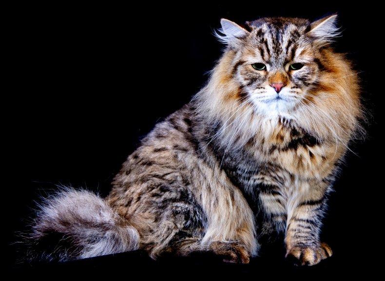 Siberian cat UK 2019 cat show