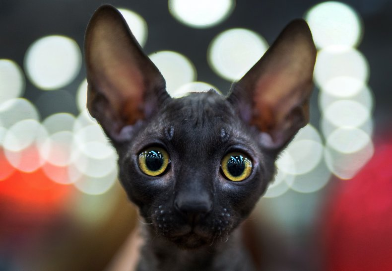 Cornish rex cat Moscow 2016