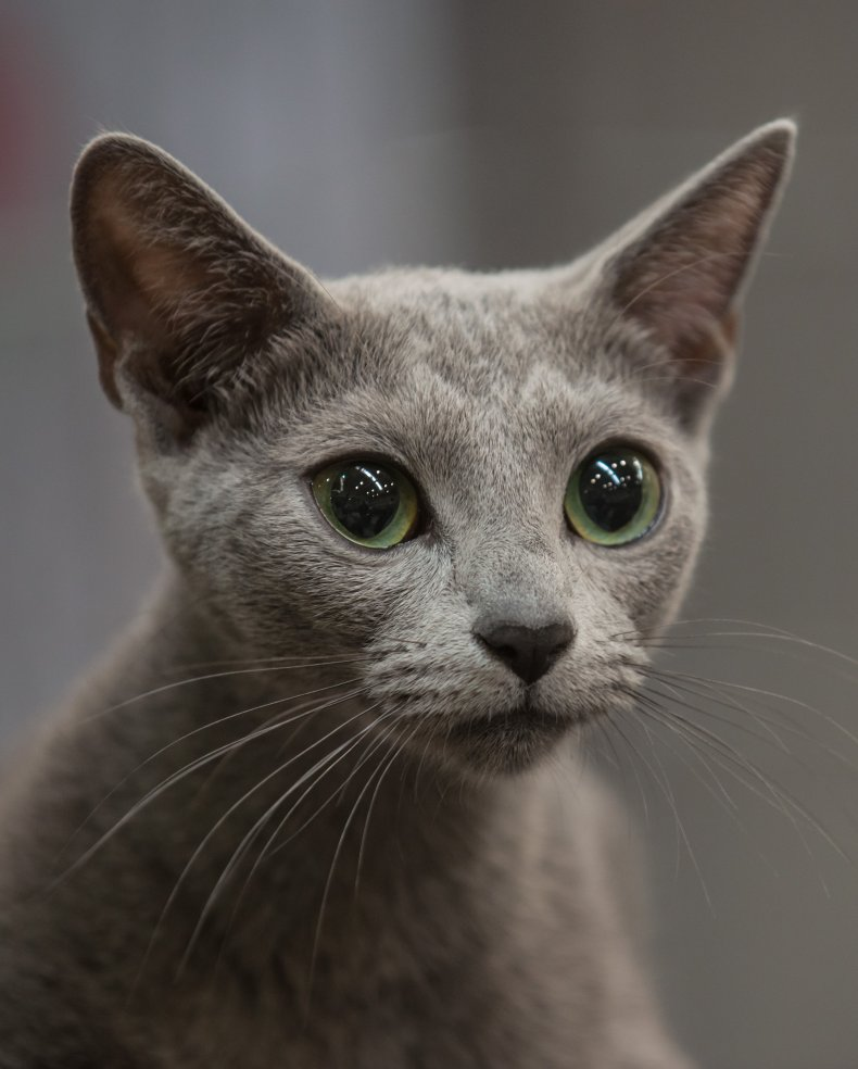 Russian blue Rome Italy 2014 cat show