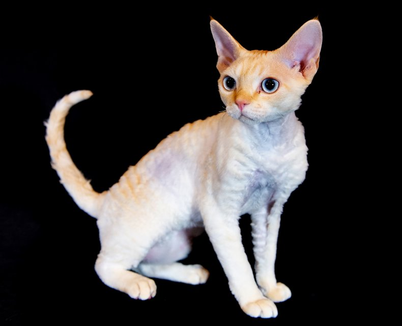 Devon rex UK cat show 2019