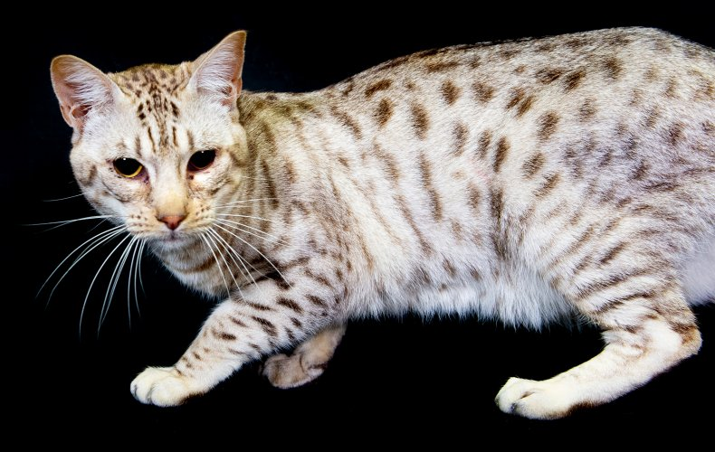 ocicat UK cat show 2018