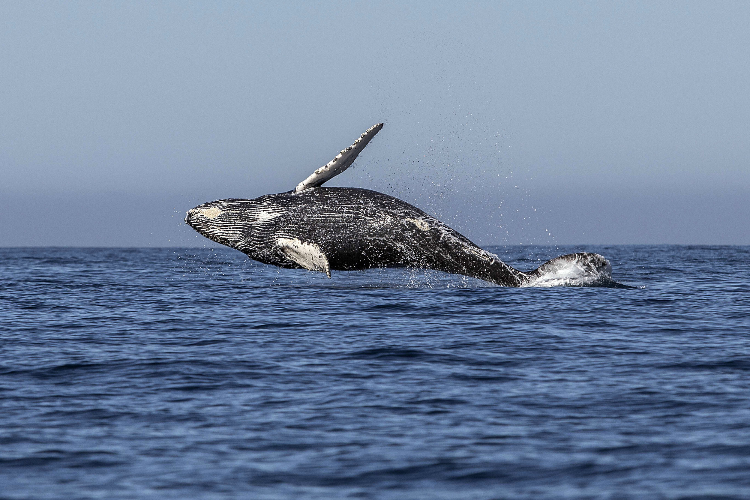 Whales rarely get cancer because of how they evolved, research suggests