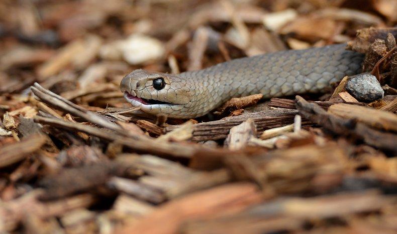 A venomous Eastern Brown Snake in Australia