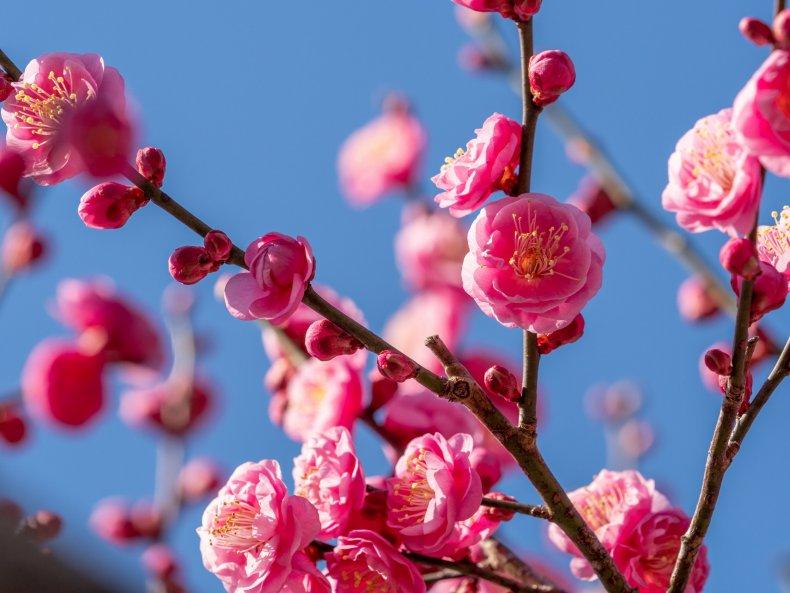 Japanesse Apricot