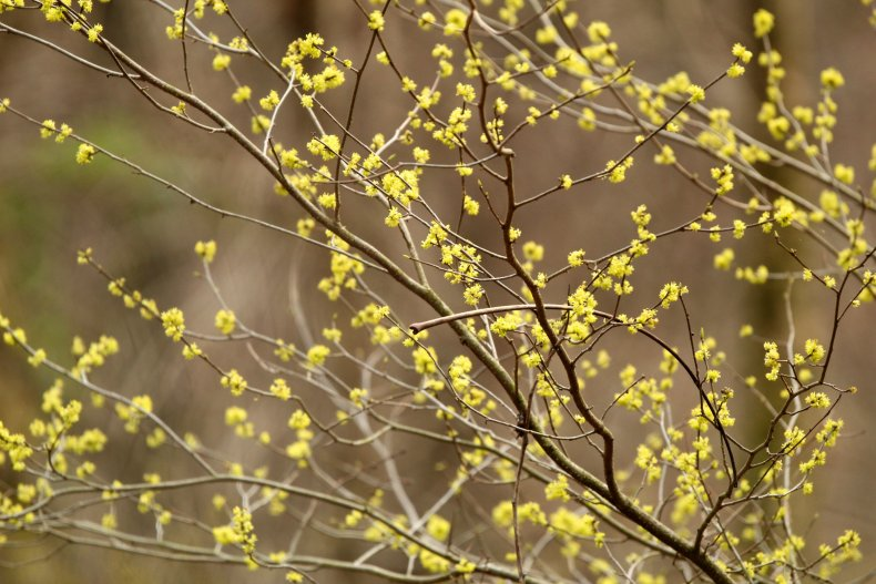 Spicebush Blossoms