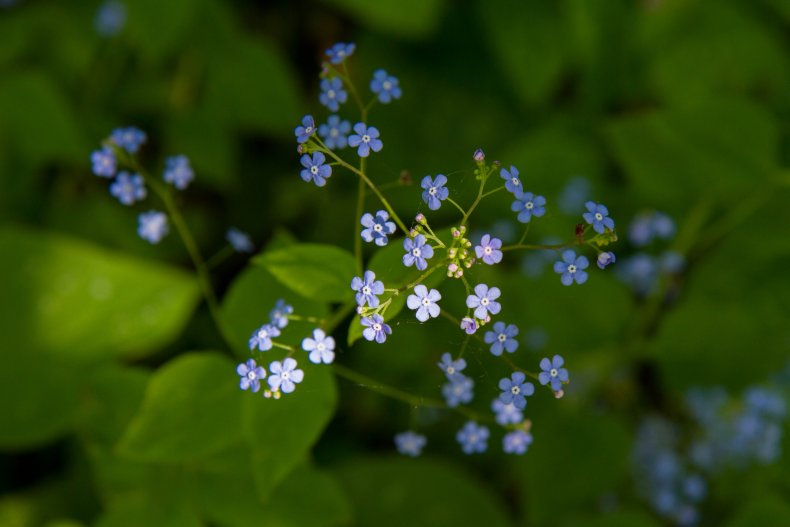 The Great forget-me-not