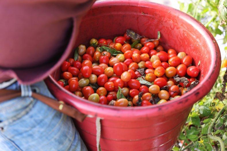 tomatoes Florida farm February 2021