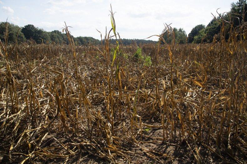 Dry field of corn