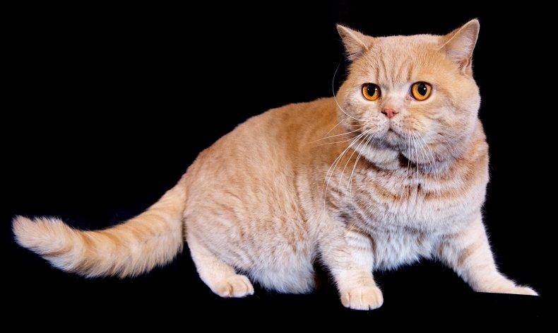 British shorthair cat U.K. 2019