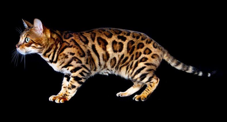 Bengal cat U.K.