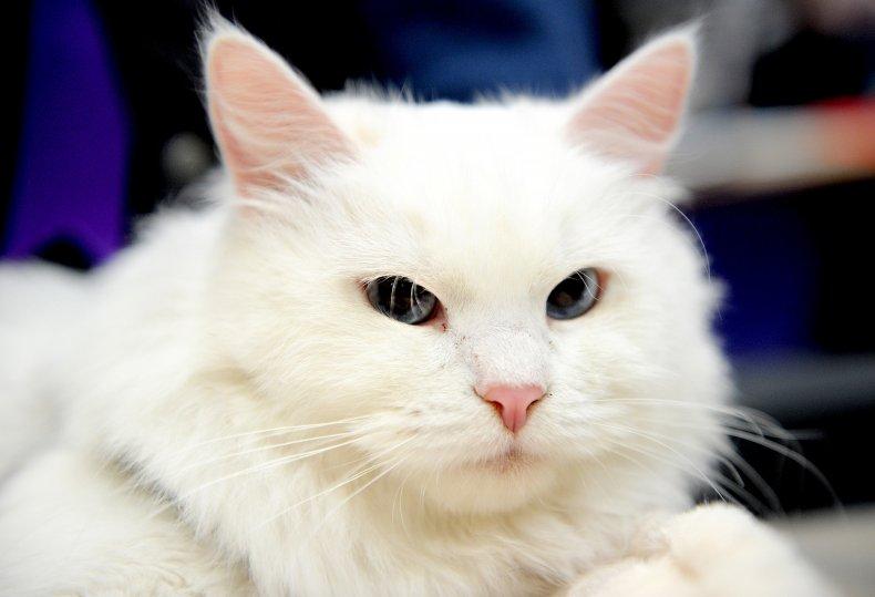 Siberian cat 2017