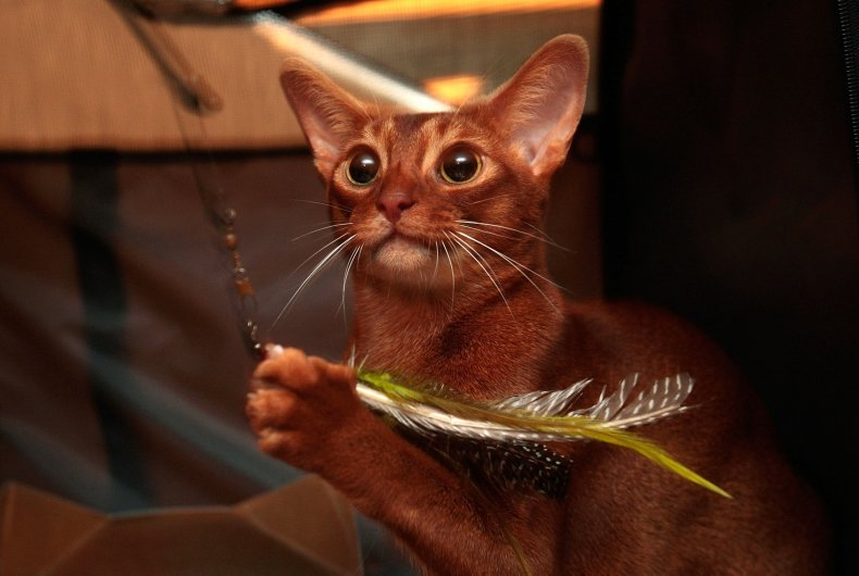 Abyssinian cat NYC 2007