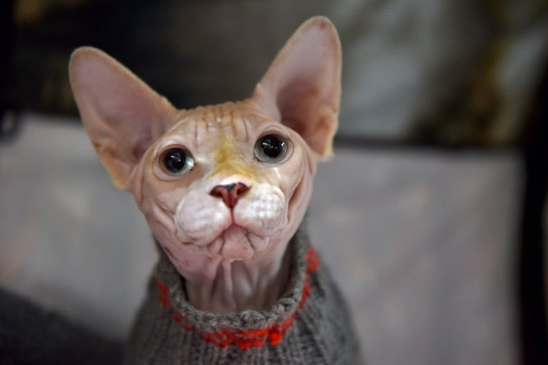Sphynx cat London U.K. 2019