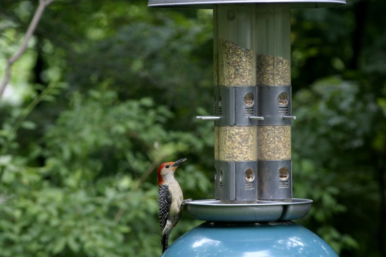 Red-Bellied Woodpecker at the Birdfeeder