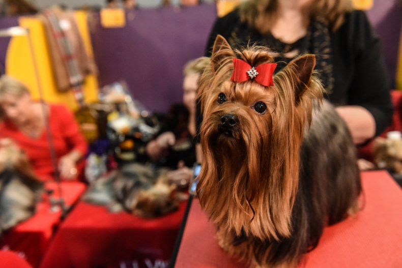NYC dog show Yorkshire terrier